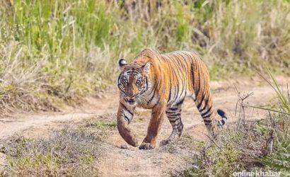 Tiger Tracking Nepal