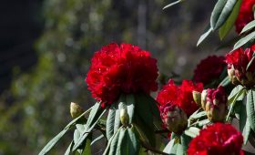 Rhododendron: National Flower of Nepal