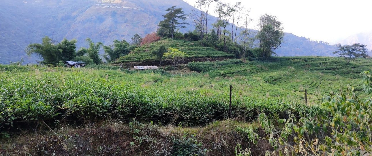 Everest Tea Garden Bhotechaur